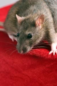 חולדה- עכברוש
